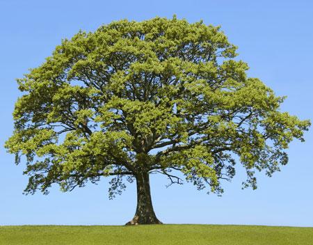 treeoak
